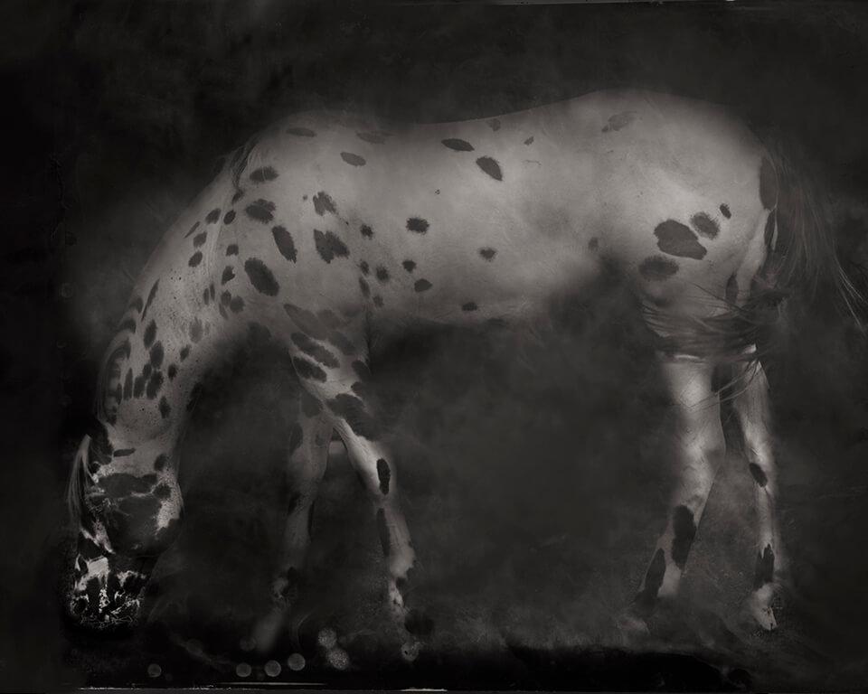 Leopard-Appaloosa-2014-1